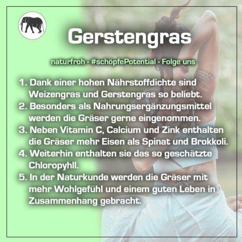 Gerstengras